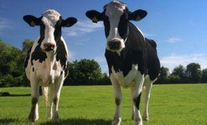 Roban dos vacas