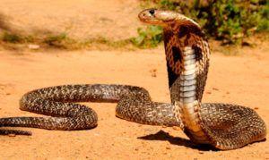 Cosas curiosas de la cobra
