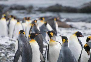 El Pingüino rey en busca de un refugio