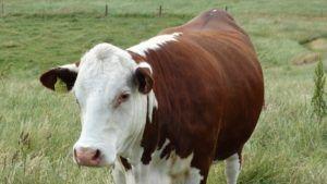 Por qué elegir leche de vaca