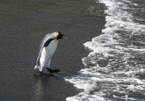 El Pingüino rey buscan colonizarlos