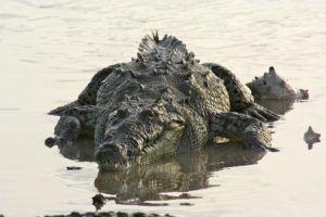 Un pescador encuentra un cocodrilo herido